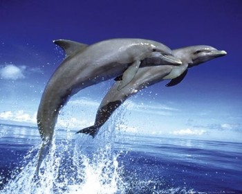 Dolphins - leap Poster