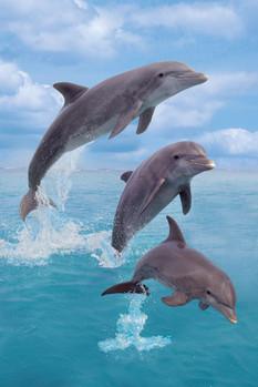 Dolphins trio - portrait Poster