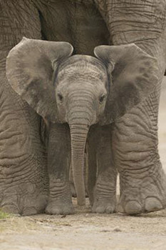 Poster  Elephant - Big Ears