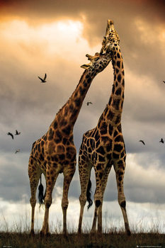 Giraffes - kissing Poster, Art Print