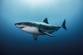Poster  Great White Shark