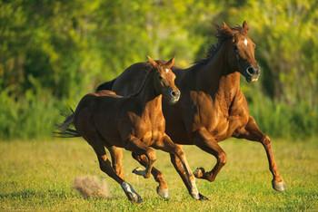 Horses - galloping Poster