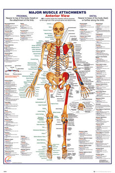 Human Body - Major Muscle Attachments Anterior Poster