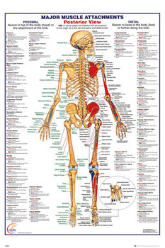 Human Body - Major Muscle Attachments Posterior Poster