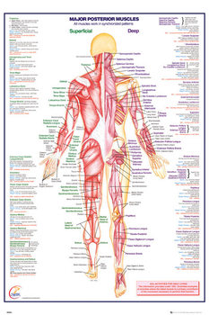 Poster Human Body - Major Posterior Muscles