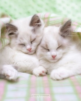 Poster Keith Kimberlin - sleepy cats
