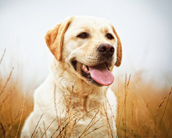Labrador - Field Poster
