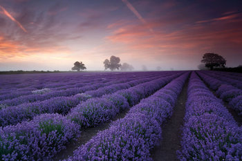 Poster Lavender field - Dawn