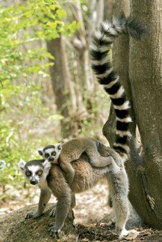 Lemurs Poster