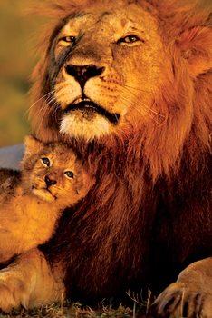 Poster Lion - Lion and cub