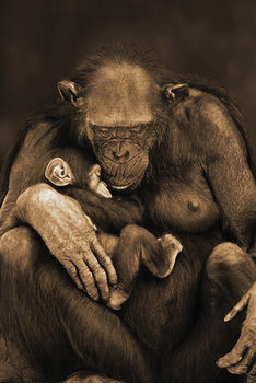 Monkey - mother with baby Poster