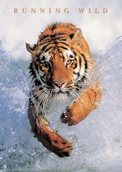 Running wild - tiger in the water Poster