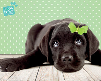Studio Pets - Lucky Lab Poster