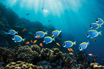 Poster Surgeonfish & Goldies