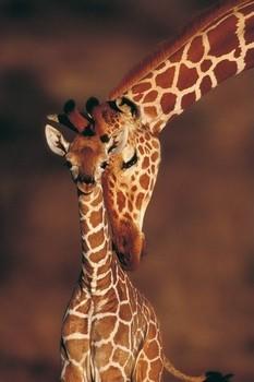 Tenderness- giraffes Poster
