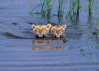 Tiger cubs - tigers in the water Poster