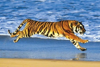 Tigers on a beach Poster