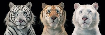 Tim Flach - tiger breeding series Poster