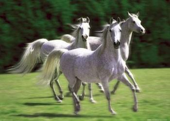 White stallions - horses Poster