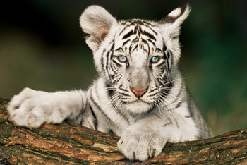 Poster White tiger - cub