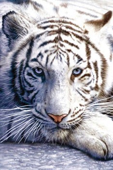 White tiger Poster, Art Print