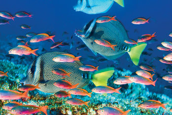 Yellow – Tailed Surgeonfish Poster