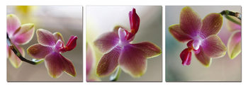 Orchid - Blossoms Mounted Art Print