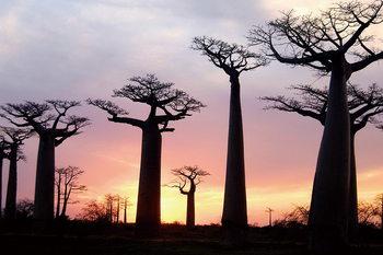 Quadro em vidro Baobabs at Sunset