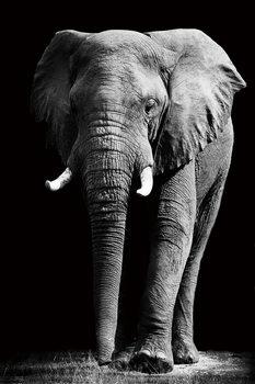 Quadro em vidro Elephant - Standing b&w