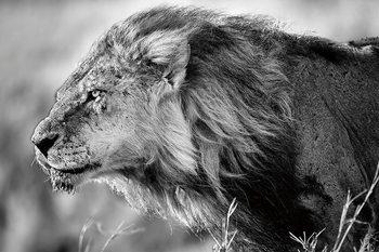 Quadro em vidro Lion - Black and White Lion