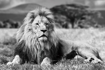 Quadro em vidro Lion - Lying b&w