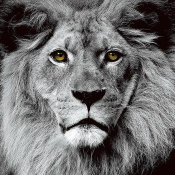 Quadro em vidro Lion - Pride b&w