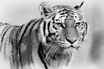 Quadro em vidro Tiger - Walking b&w