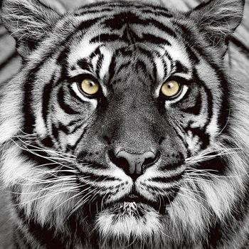 Quadro em vidro Tiger - Yellow Eyes b&w