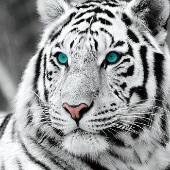 Quadro em vidro White Tiger - Blue Eyes b&w