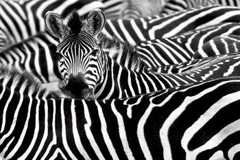 Quadro em vidro Zebra - Many Zebras
