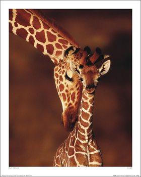 Reprodução do quadro Karl Ammann - Giraffe