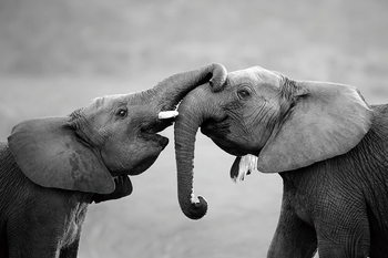Tableau sur verre Elephant - Friends