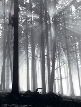 Forest Dawn  Taide