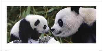 Panda - Steve Bloom Taidejuliste
