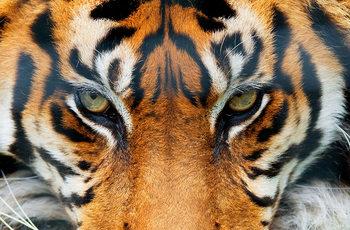 Valokuvatapetti Tiikeri