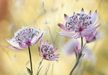 Astrantia Major Wallpaper Mural