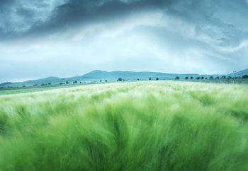 Barley Field Wallpaper Mural