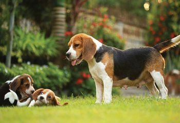 Beagle Dog Wallpaper Mural