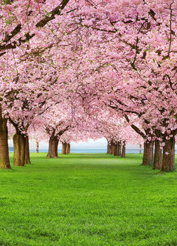 CHERRY TREES Wallpaper Mural