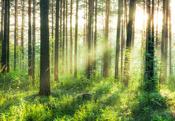 Forest – Sunbeams Wall Mural