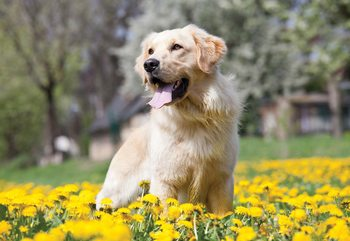 Golden Retriever Dog Wallpaper Mural
