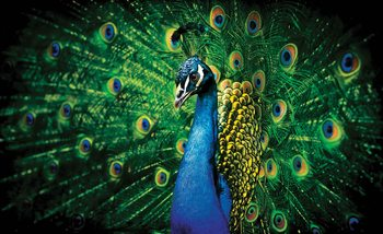 Peacock Bird Feathers Wallpaper Mural