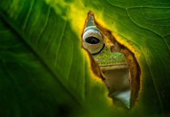 Peeking Frog Wallpaper Mural