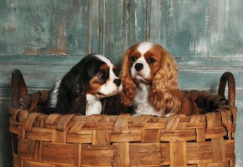 Spaniel Dogs Wallpaper Mural